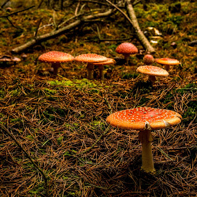 Fly agaric mushrooms  by John Haswell - Nature Up Close Mushrooms & Fungi ( mushroom, nature, autumn, fly agaric, forest,  )