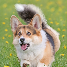 Excited Corgi by Mia Ikonen - Animals - Dogs Running ( action, pembroke welsh corgi, finland, fun, expressive )