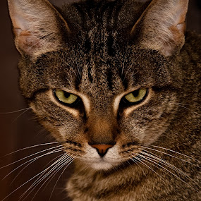 Bad Mood by Even Steven - Animals - Cats Portraits ( look, short hair, cat, tiger, upset, american, mean, angry, bad mood, feline, domestic, , #GARYFONGPETS, #SHOWUSYOURPETS )