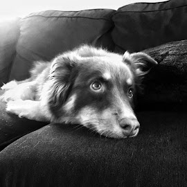 Pooped by Andy Chinn - Animals - Dogs Portraits ( black and white, austrailian shepherd, dog portrait, dog,  )