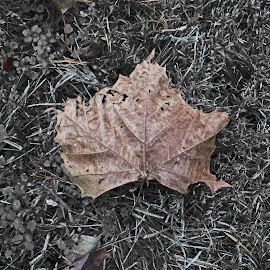The Leaf of the Fall by Daryl Peck - Novices Only Objects & Still Life ( canon, centered, up close, novice, grass, still life, upclose, leaf, neutral, leaves, center, autumn, fall, outdoor, outdoors, brown, symmetry, dead, filter )