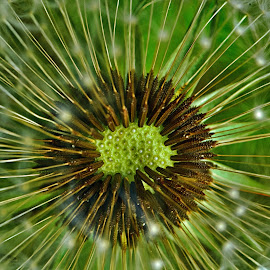 The Genesis by Marco Bertamé - Nature Up Close Other plants ( dandelion, green, seed,  )