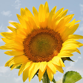 nice sunflower by LADOCKi Elvira - Flowers Single Flower