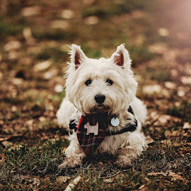 lights by Krisztina Ajtai - Animals - Dogs Portraits ( puppy, light, animal, autumn, dog, westie,  )