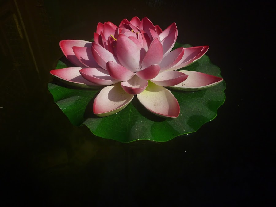water lilly in beijing by Tay Pratt - Novices Only Flowers & Plants ( water, real, pink, flower )