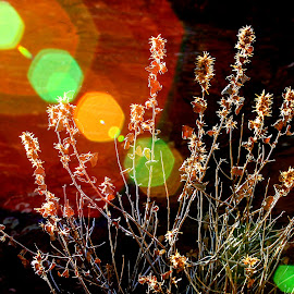 Creative Lens Flair by David Walters - Nature Up Close Other plants ( canon, nature, artistic, bush, creative lens flair )