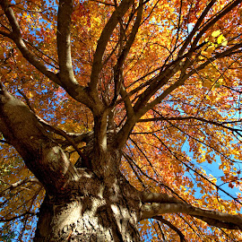 Autumn Maple by Cal Brown - Nature Up Close Trees & Bushes ( natural light, autumn leaves, tree, state park, nature up close, nature close up, autumn colors, maple )