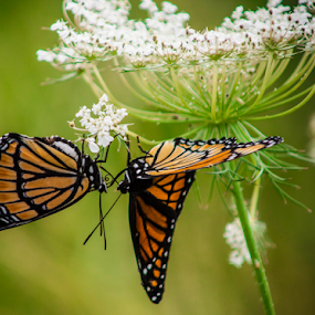 Two Makes A Crowd by Theodore Schlosser - Animals Insects & Spiders ( orange, macro, nature, butterfly, insect, colorful )
