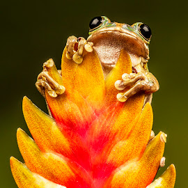 Peacock Tree Frog by Sandra Cockayne - Animals Amphibians ( cute frog, plant, frog, tree frog, amphibian, cute, amphibians, flower )