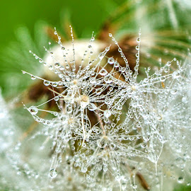 Diamond by Mikaela Dana - Nature Up Close Natural Waterdrops ( water, dandelion, outdoor, drops, natural, close up, flower )