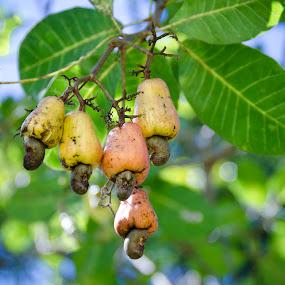 Jagus by Mohamad Sa'at Haji Mokim - Food & Drink Fruits & Vegetables ( fruit, tropical plants, nut, brunei, cashew )