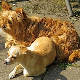 Crystal and Lily Loopy Longlegs by Angie Keverne - Animals - Dogs Portraits ( pets, bitch, dogs, animal, family, female )