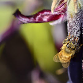 Honey bee on bromeliad flower by Yani Dubin - Animals Insects & Spiders