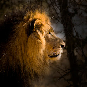 African King by Robbie Aspeling - Animals Other Mammals ( king of the jungle, lion, african king )