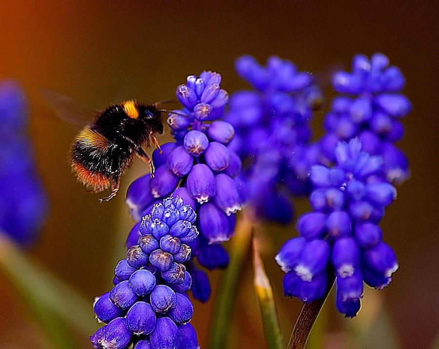Bee Blue by Angel Weller - Nature Up Close Flowers - 2011-2013 ( macro, blue, bee, summer, flower )