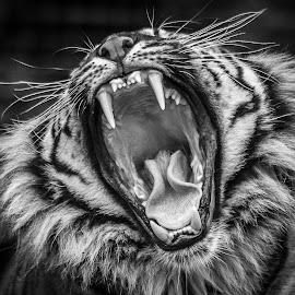 Yawn by Garry Chisholm - Black & White Animals ( big cat, garry chisholm, nature, tiger, wildlife )