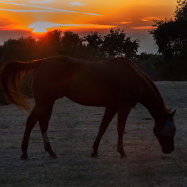 The evening sun by Tammy Arruda - Animals Horses ( horses, sunset,  )