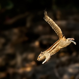Jumping Squirell by Subramanniyan Mani - Animals Other Mammals ( nature, action, wildlife, photography, jump )