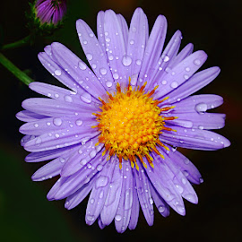 Aster by Gérard CHATENET - Flowers Single Flower (  )