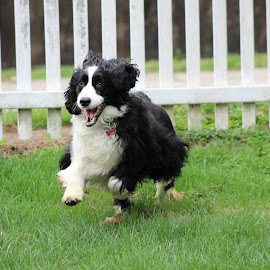 by Denise Tenpenny - Animals - Dogs Running