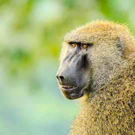 Olive baboon by Praveen Chandra - Animals Other ( baboon, kenya, olive baboon )