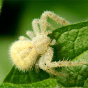Hairy crab spider
