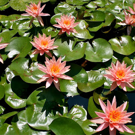 The lily pond. by Peter DiMarco - Nature Up Close Other plants ( pink flower, flowering, lilies, flowers, floral )