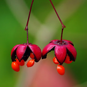 Parachute Berries by Ingrid Anderson-Riley - Nature Up Close Other Natural Objects (  )