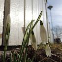 Common Snowdrop
