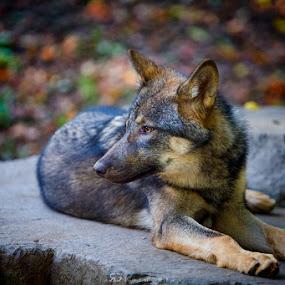Wolf  by Robert Grim - Animals Lions, Tigers & Big Cats ( animals, wolf, czech, czech republic, relaxation,  )