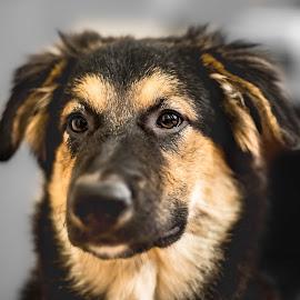 Goid Boy by Darren Sutherland - Animals - Dogs Portraits