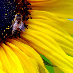 Bee by Leif Holmberg - Nature Up Close Flowers - 2011-2013 ( bee, sunflower, yellow, insect, flower,  )