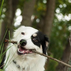 Nom Nom Nom by Christy Borders - Animals - Dogs Playing ( canine, outdoors, puppy, australian shepherd, dog )
