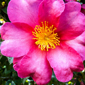 Pink Flower by Jacob Woolwine - Nature Up Close Flowers - 2011-2013 ( pedals, jacob, flower )