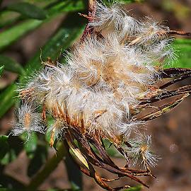gazanias seeds by LADOCKi Elvira - Nature Up Close Gardens & Produce