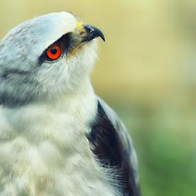 White Eagle 2 by Dimas N - Animals Birds