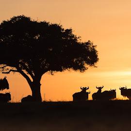 Good morning Wildebeests! by Vicki Santello - Animals Other Mammals ( wildlifephotography, maasai mara, wildebeest, kenya, sunrise, africa )