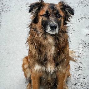 Sawyer by Sandy Hogan - Animals - Dogs Portraits ( canine, border collie, snow, dog portrait, dog, bordador )