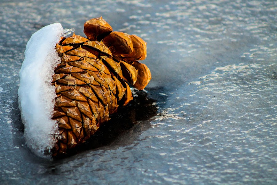 Frozen Cone by Jay Woolwine Photography - News & Events Weather & Storms ( pine cone, ice, snow, frozen )