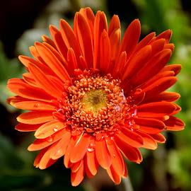 red beauty by SANGEETA MENA  - Flowers Flowers in the Wild
