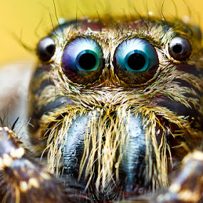 Jumping Spider by ธเนศ ขวยไพบูลย์ - Animals Insects & Spiders ( canon, macro, spider, lens )