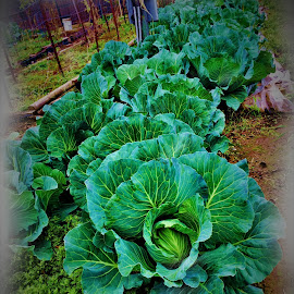 CABBAGE by Ron Olivier - Food & Drink Fruits & Vegetables (  )