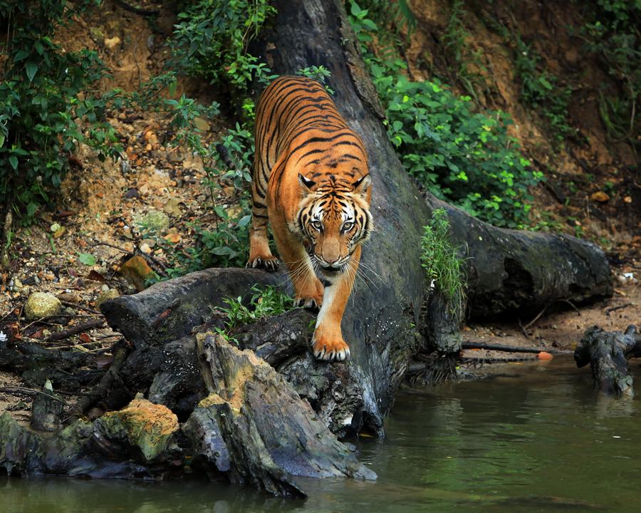 Stare! by Perak Man - Animals Other Mammals