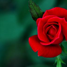 Kiss me by Ivy Luna - Flowers Flower Gardens ( #single flower, #flowers, #red rose, #flower, #rose,  )