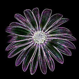 Glowing African Daisy by Dawn Hoehn Hagler - Digital Art Things ( pima county cooperative extension gardens, tucson, african daisy, arizona, garden, photoshop, daisy, flower, glowing edges, digital art )
