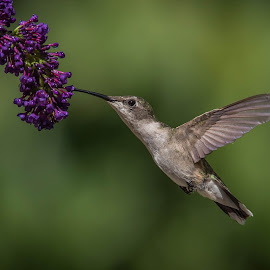 Tasting by Roy Walter - Animals Birds ( wild, animals, hummingbird, wildlife, birds, garden )