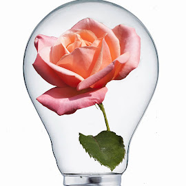 Rosebulb by Gareth Parkes - Digital Art Things ( bulb, eose, flower )