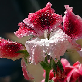 Geranio  bicolore con gocce by Patrizia Emiliani - Flowers Flower Gardens ( macro, gocce, geranio, riflessi, due colori )