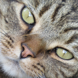 Cats Eyes by Linda Kennedy - Animals - Cats Portraits ( sky, green eyes, coon cat )