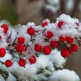 Snow Berries by Kathy Suttles - Nature Up Close Gardens & Produce ( suttlimpressions, snowberries, red berries, christmas snow, oklahoma,  )